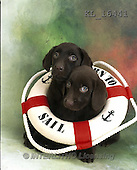 Interlitho, ANIMALS, REALISTISCHE TIERE, ANIMALES REALISTICOS, dogs, photos+++++,2 labrador, life-saver,KL16441,#a#