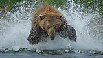 In Alaska's Katmai National Park, there are abundant sock-eye salmon in the rivers and abundant bears hungry for them.  Here a brown bear bounds and splashes after a school of the red fish.<br />