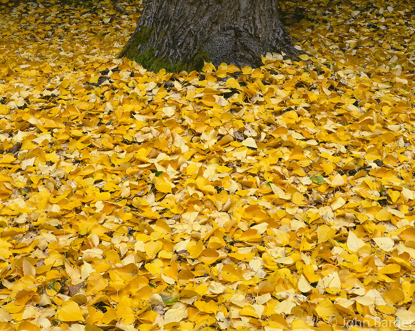 ORCAN_058 - USA, Oregon, Mount Hood National Forest, Fall-colored leaves of black cottonwood (Populus trichocarpa) cover ground and surround it's trunk.