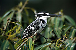 Pied Kingfisher, Ceryle rudis, male, sitting on shrub bush, West Africa.