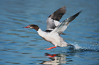 Common Merganser (Mergus merganser), female taking off, Argau, Switzerland