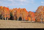 Aspens in Fall Color, Highway 14 near Cedar Breaks, Dixie National Forest, Utah