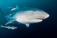 tiger shark, Galeocerdo cuvier, protecting an eye when attacking, Aliwal Shoal, Kwazulu-Natal, South Africa ( Indian Ocean )