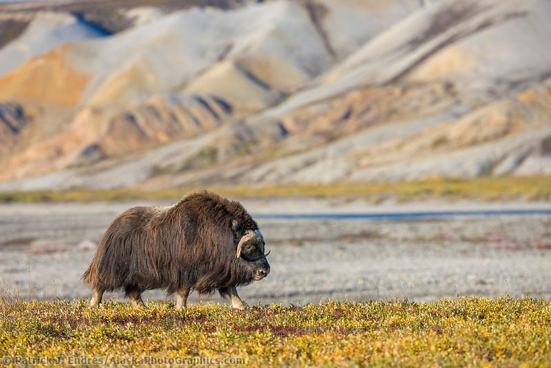 Muskox along the Sagavanirktok river and the Franklin Bluffs on the Arctic Coastal Plains, Alaska.