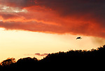 A Great white Egret forms a dark silhouette in an orange sunset.
