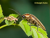 1C24-562z   Firefly Adult - Lightning Bug - Photuris spp.