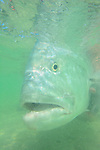 Underwater GT in Christmas Island