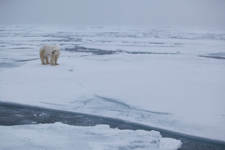 Polar bear (Ursus maritimus) on ice floe, Svalbard, Norway.