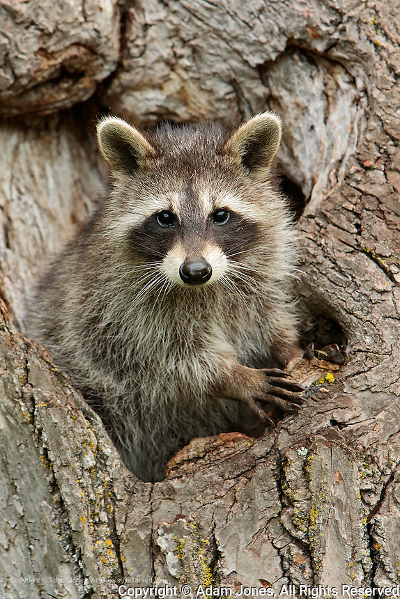 Raccoon in tree, Procyon lotor