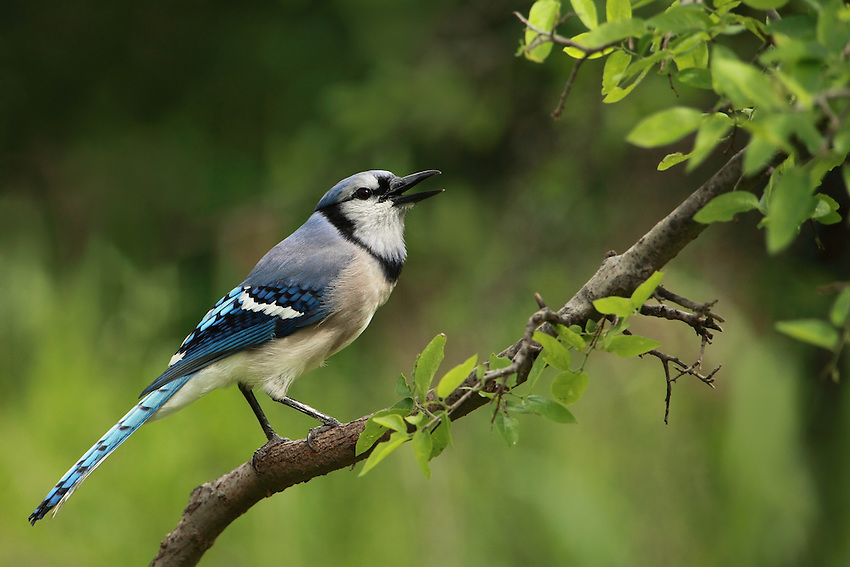 Blue Jays make a large variety of calls. The most often heard is a loud jeer, but also makes clear whistled notes and gurgling sounds. They frequently mimic hawks, especially Red-shouldered Hawks.