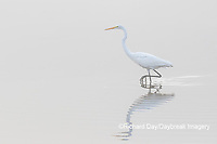 00688-02219 Great Egret (Ardea alba) in wetland in fog, Marion Co., IL