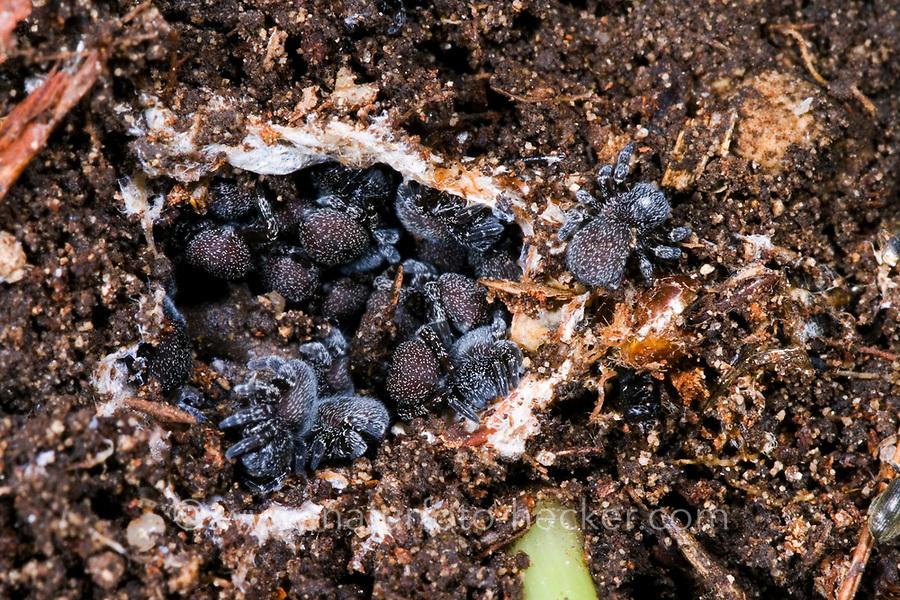 Röhrenspinne, Jungspinnen im Nest, Eresus sandaliatus, Eresus annulatus, ladybird spider, Röhrenspinnen, Eresidae, ladybird spiders