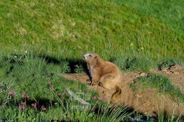 Olympic Marmot (Marmota olympus)--near den.  Olympic National Park, WA.  Summer.