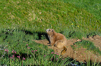 Olympic Marmot (Marmota olympus)--near den.  Olympic National Park, WA.  Summer.