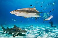 Lemon Sharks, Negaprion brevirostris, with sharksuckers, Echeneis naucrates, Blue Runner jacks, Caranx crysos, and scuba divers, West End, Grand Bahama, Bahamas, Caribbean, Atlantic Ocean