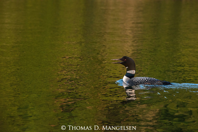 An adult loon swims in the waters of Lake Anishinabi in Ontario, Canada.