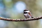 Chestnut-backed chickadee, coast mountain range, Oregon