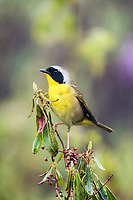 common yellowthroat, Geothlypis trichas, male, perched, Nova Scotia, Canada