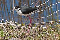 Black-necked Stilt with eggs, Oregon