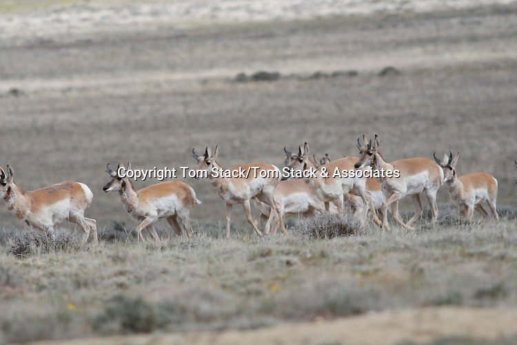 Pronghorn Antelope, Antilocapra americana, herd in the Red Desert of Wyoming