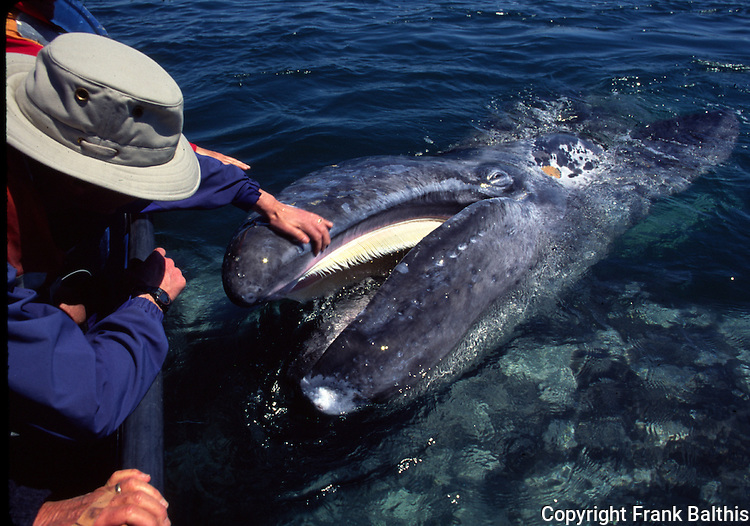 Peter Meyer touching a gray whale calf
