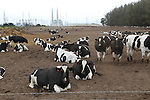 Dairy cattle at Moss Landing