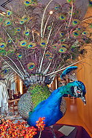 Decorative Peacock display of feathers vertical , Vertical image