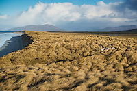 Sheep hide among dune grass at west coast beach, Berneray, Outer Hebrides, Scotland