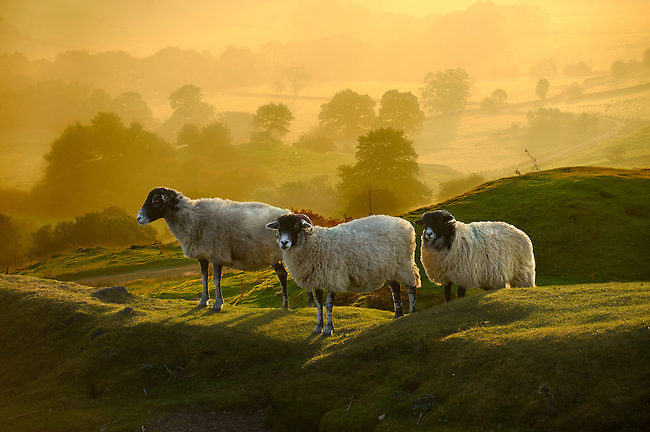 Swale sheep at sunrise over Rosedale viewed from Chimney Bank, North Yorks National Park, North Yorkshire, England