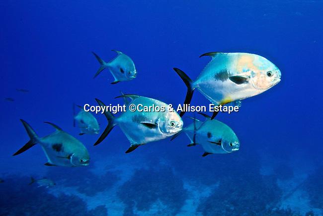 Trachinotus falcatus, Permit, Grand Cayman