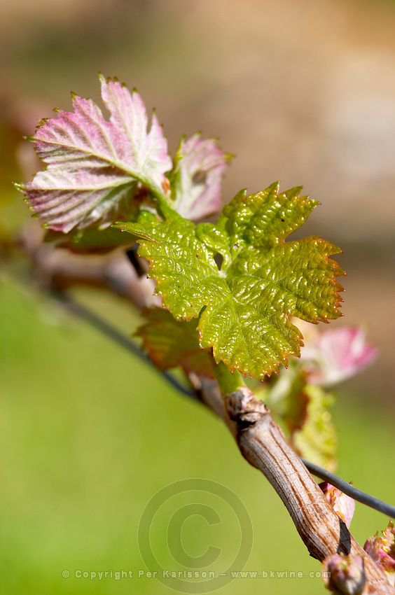 bud burst on the vine chateau phelan segur st estephe medoc bordeaux france