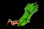COSTA RICA - OCTOBER 19: A tight shot of a  leaf cutter ant in Costa Rica on October 19, 2003. Next to humans, leaf cutter ants are said to form one of the the largest  animal societies on Earth. (Photo by: Donald Miralle)