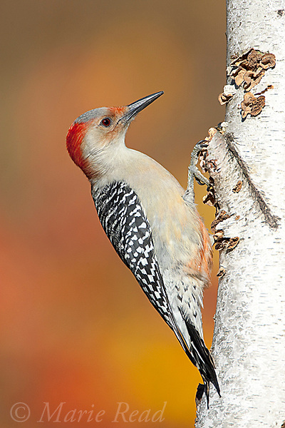 Red-bellied Woodpecker (Melanerpes carolinus), female perched on birch trunk in autumn, showing the red belly that gives the species its name, New York, USA