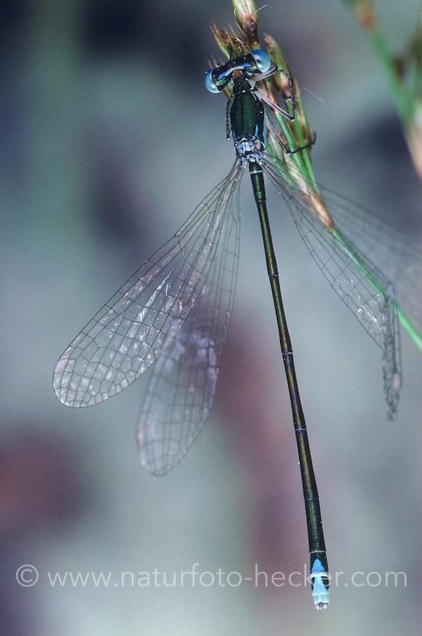 Zwerglibelle, Zwerg-Libelle, Nehalennia speciosa, pygmy damselfly, sedgeling, sedgling