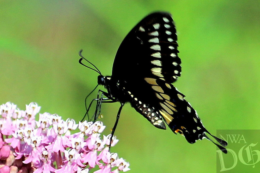 Courtesy photo/PHYLLIS KANE<br /> A black swallowtail butterfly lands on a stand of swamp milkweed. Phyllis Kane of Fayetteville took the picture Aug. 27 at the Charlie Craig State Fish Hatchery in Centerton during a Northwest Arkansas Audubon Society field trip.
