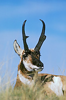 Pronghorn antelope buck being watchful while resting.  Western U.S.,  Fall.