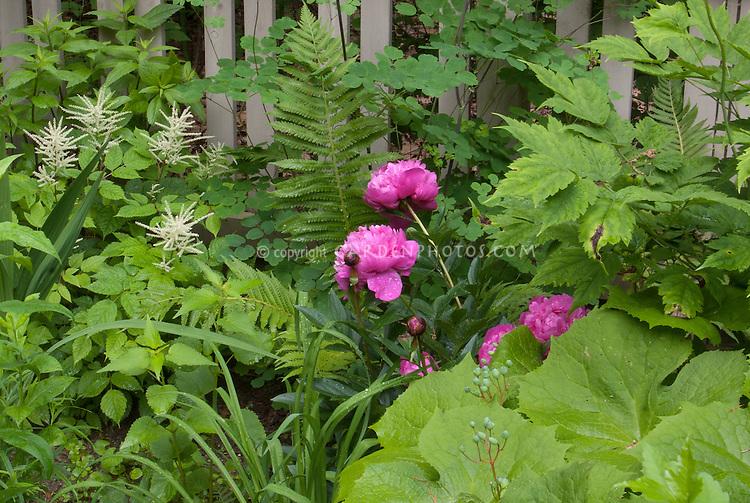 Paeonia Kansas peony in garden, picket fence, with Diphylleia cymosa Umbrella Leaf, Aruncus, Thalictrum