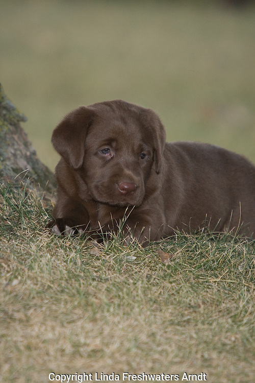 Chocolate lab puppy (Canis familiaris)