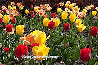 63821-20913 Warm Spring Day Tulips (Tulipa sp) at Cantigny Gardens, Wheaton, IL