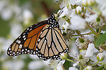 Monarch butterfly on blackberry bush