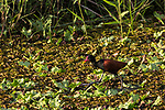 The Wattled Jacana, Jacana jacana, is a wading bird found throughout the world's tropics.  It has very large feet which allow it to walk on top of aquatic vegetation while feeding on insect,  invertabrates and seeds.  It gets its name from the red wattle at the base of its beak.