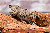 Bobcat walking down a red hill - CA