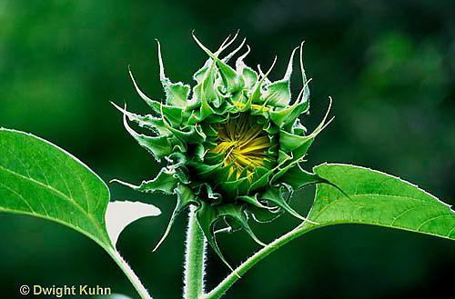 HS13-072a  Sunflower - bud opening, flower -  Helianthus spp