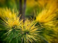 Close up of Pinus Strobus 'Louie' needles, Oregon