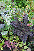 Kale Redbor in mixed flower and vegetable garden with Eryngium, amaranthus, salad greens, cabbage, Euphorbia, Papaver poppy, Ricinus