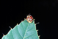 INSECTS<br /> Fungus On Ladybird Beetle (Coccinellids)<br /> Laboulbeniales fungi lives on beetles and other insects growing out of the integument of the host. They do not extend into the internal organs and are generally nonpathogenic.