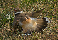 A Killdeer bird feigns injury to lure  predators away from its nearby nest.
