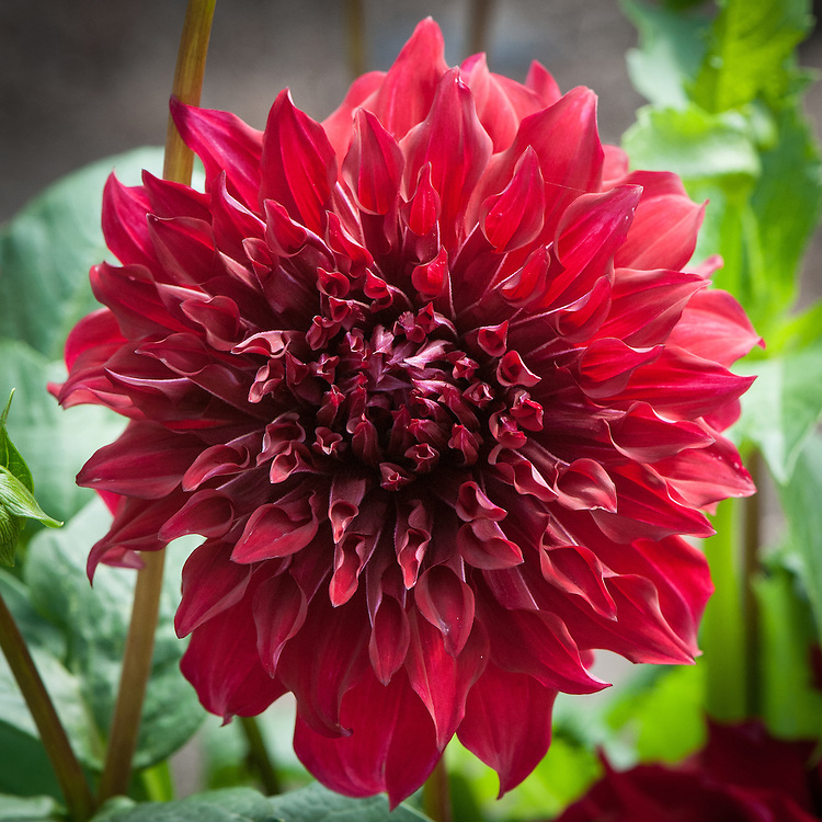 Dahlia 'Spartacus', early September. A large red Decorative Group dahlia.