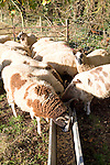 Sheep eating from food trough