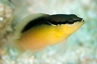Bandit Dottyback, Pseudochromis perspicillatus, Yellow Komodo form, Wainilu dive site, Rinca Island, Komodo National Park, Indonesia, Indian Ocean
